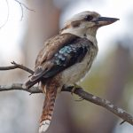 Kookaburra sits in an old gum tree on 1 oz. of silver